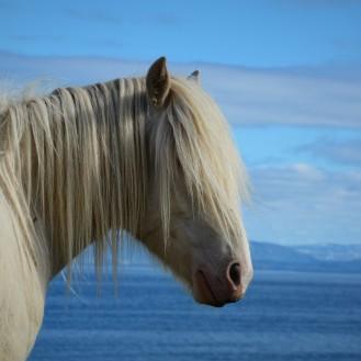 Lyngenhest, en av våre nasjonale hesteraser