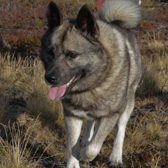 Norsk elghund grå, Norges nasjonalhund