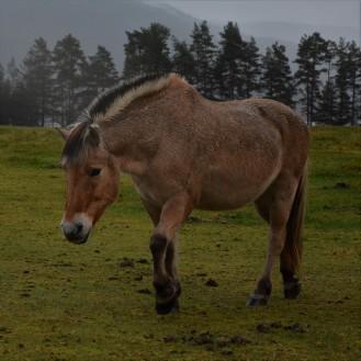 Fjording. Nå har jeg alle de tre nasjonale hesterasene våre.